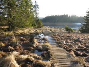 Ein Bretterweg am Ufer führt zum Oderteich hin. Neben den Brettern ist es sumpfig.