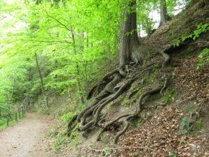 An der Seite eines Wanderweges steht ein Baum mit Wurzelgewirr. Man kann das nicht übersehen.
