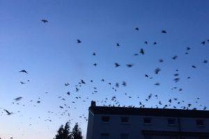 Ein Schwarm Krähen fliegt über die Dächer