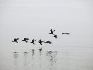 Die Kormorane des Ibykus fliegen über die Ostsee