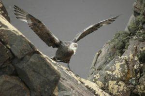 Ein Albatros-Baby