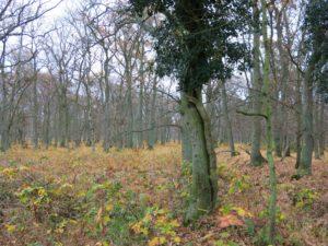 Efeu im Novemberwald