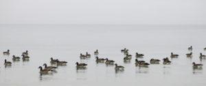 Enten auf der Ostsee - mit Blick ins Nichts