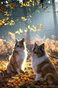 Zwei Collies im Wald