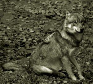 Ein Wolf sitzt im Wald