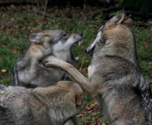 Wölfe im Kampf