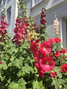 Weißes Haus mit roten Stockrosen