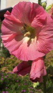Die prachtvolle Stockrose zieht Insekten an