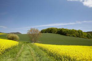 Wanderweg an Rapsfeld und Wald