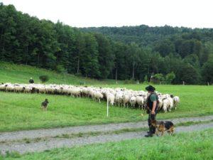 Schäfer mit Hunden und Schafen
