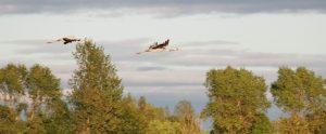 Frühlingshoffnung auf dem Darß: zwei fliegende Kraniche