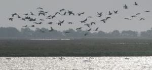 Kraniche fliegen im Schwarm übers Wasser
