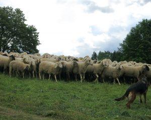 Schafe laufen dichtgedrängt auf einer Weide